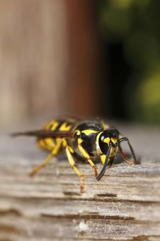 European Paper Wasp Royalty Free Stock Photography