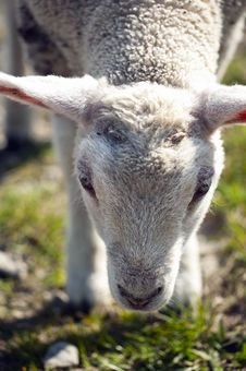 Free Lamb Royalty Free Stock Photography - 14072257