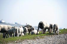 Free Sheep Flock Herd On Dike Royalty Free Stock Photo - 14072275