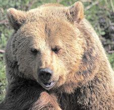 Free Bear S Head Royalty Free Stock Photography - 14072307