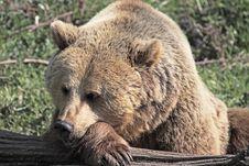 Free Sleepy Bear Royalty Free Stock Images - 14072369