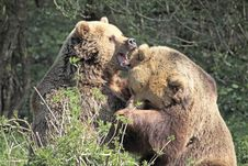 Free Brown Bears Fighting Royalty Free Stock Image - 14072426