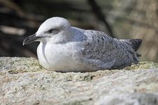 Free Resting Gull Stock Images - 14072504