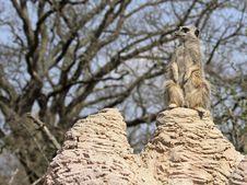 Free Meerkat Sentry Royalty Free Stock Images - 14072639