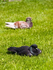 Free Pigeons Stock Photography - 14072712