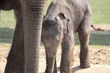 Free Elephant Calf Stock Photo - 14072840