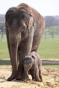 Free Mother And Baby Elephants Stock Image - 14072881