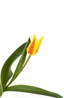 Free New Tulip Royalty Free Stock Photography - 14072907