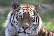 Free Siberian Tiger Close-Up Royalty Free Stock Image - 14073246