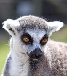 Free Lemur Face Royalty Free Stock Photography - 14073317