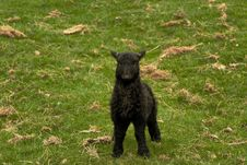 Free Black Lamb Stock Image - 14073391