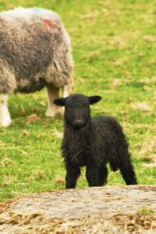 Free Black Lamb Royalty Free Stock Images - 14073449