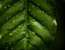 Free Water Drops On A Leaf Royalty Free Stock Photography - 14073547
