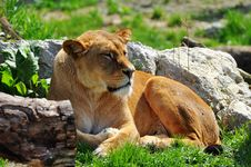Free Lioness Royalty Free Stock Image - 14073716