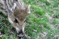 Free Young Wild Boar Royalty Free Stock Images - 14074179