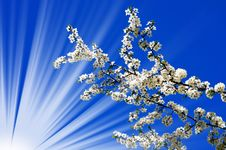 Free Beautiful Plum Tree Blossom And Fun Sun. Royalty Free Stock Images - 14074289