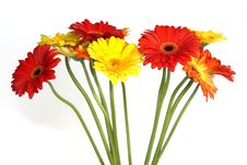 Many Beautiful Gerberas Royalty Free Stock Image
