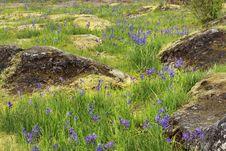 Free Camas Flower Meadow Royalty Free Stock Photo - 14074755