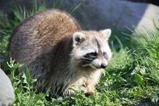 Free Raccoon Stock Photos - 14075273