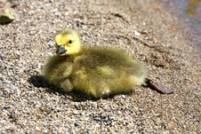 Free Canada Goose Gosling Royalty Free Stock Photography - 14075377