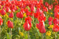 Free Tulip Stock Image - 14075431