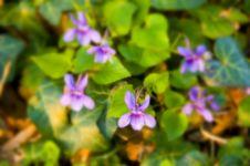 Free Viola Stock Image - 14075511