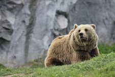 Free Brown Bear Stock Images - 14075764