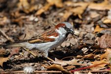 Free House Sparrow Male Royalty Free Stock Image - 14075766