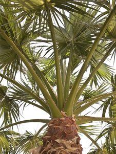Free Palm Tree Royalty Free Stock Photo - 14075775