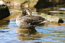 Free Mallard Duck Female Royalty Free Stock Photography - 14075797