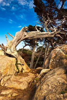 Free Aged Cypress On A Rocky Path Royalty Free Stock Images - 14075959