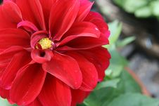 Red Dahlia Stock Photo