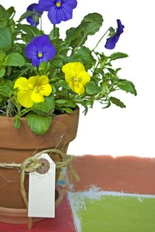 Potted Pansy Stock Photo