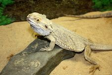 Free Large Lizard With Large Thorns Royalty Free Stock Photo - 14077405