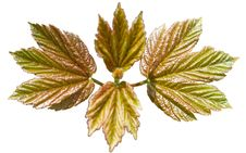 Free Young Maple Stock Photos - 14077553