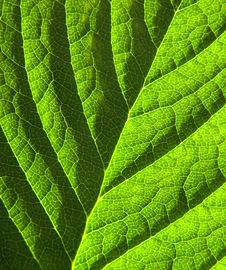 Free Green Leaf Detail 1 Royalty Free Stock Images - 14077739