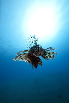 Lionfish In Blue Water, Royalty Free Stock Image