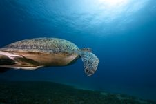 Female Green Turtle Swimming Stock Photos