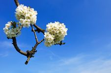 Free Blooming Apple Tree Branch Stock Photo - 14078050