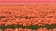 Free Field With Tulips Royalty Free Stock Photo - 14078235