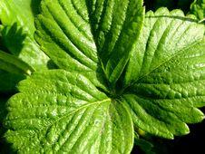Free Strawberry Leaf Background Stock Photos - 14078593