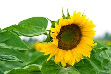 Free Sunflower Royalty Free Stock Photography - 14079587