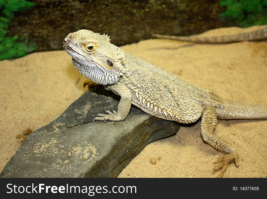 Large lizard with large thorns