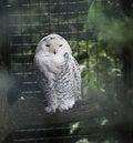 Free White Owl Stock Photo - 14082680