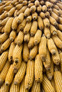 Free Corn Ears Royalty Free Stock Photography - 14084317