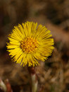 Free Coltsfoot In The Spring Royalty Free Stock Photos - 14089538
