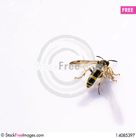 Free Wasp Royalty Free Stock Photography - 14085397