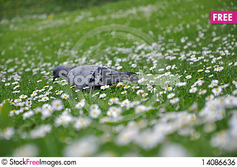 Free Pigeon On Green Grass Royalty Free Stock Image - 14086636