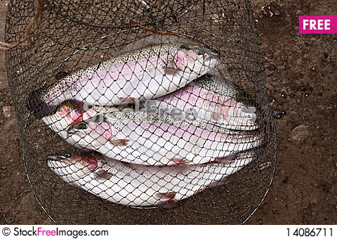 Free Catching Trout Fishes On A Grass Stock Image - 14086711