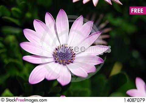 Free Pink Lotus Royalty Free Stock Images - 14087079